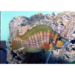 Altolamprologus Compressiceps Red Fin 4cm