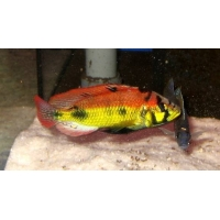 Astatotilapia Yellow Belly 4cm