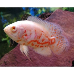 Astronotus Ocellatus albino tiger super red
