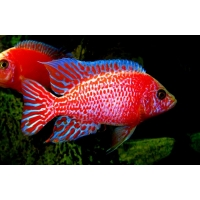 Aulonocara Fire fish