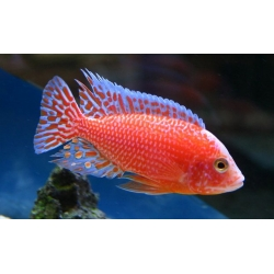 Aulonocara Red Dragon 7cm