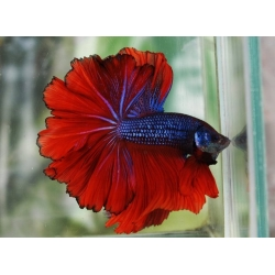 Betta Splendens Man