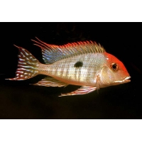 Geophagus Tapajos red head 4-5cm
