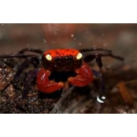 Geosesarma spec.  Red Devil Crab 3-3,5cm