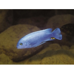 Metriaclima sp. Zebra Callanois bright blue 6-7cm