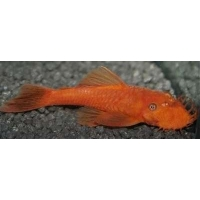Ancistrus Dolichopterus super red