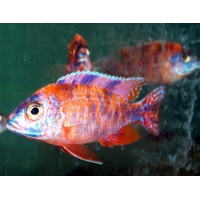 Aulonocara Calico red neon 6-7cm
