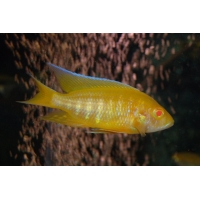 Aulonocara lemon yellow albino