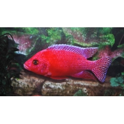 Aulonocara strawberry super color 7cm