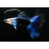 Guppy Blue Black