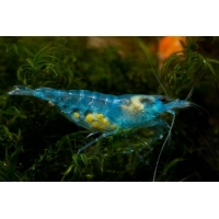 Caridina sp. Blue Jelly 1-1,5cm