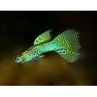 Guppy Cobra Green