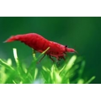 Caridina sp. Fire red 1cm