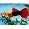 Guppy Golden Red Tuxedo