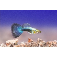Guppy metallic blue neon