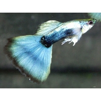 Guppy Metallic Blue