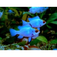 Microgeophagus Ramirezi blue electric 3-3,5cm