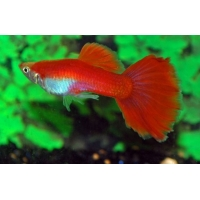 Guppy full red