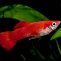 Guppy Red mix